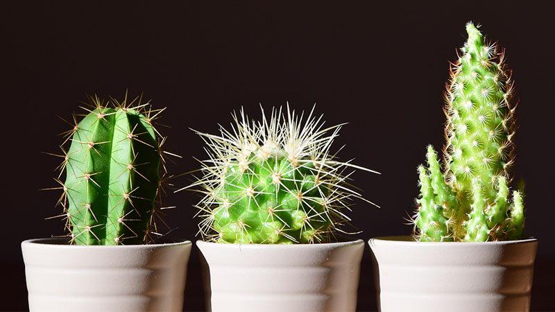 What Does A Cactus Symbolize